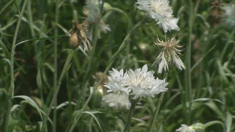 Beautiful Flower In The Wind, Summer, Botanical Ga stock footage