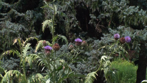 Purple Thistle In A Botanical Garden, Beautiful, S Footage