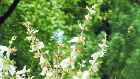 Scorched White Flowers In Summer Heat, Botanical G Footage