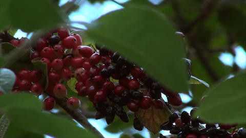 Wild Berries On A Branch Blown By The Wind, Botani Footage