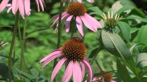 Bees On Funny Flowers, Insects, Pink, Honey, Summe Footage