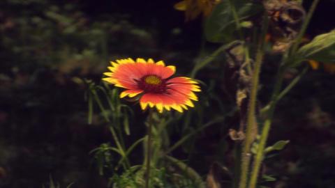 Beautiful Flower In The Wind, Summer, Botanical Ga Footage