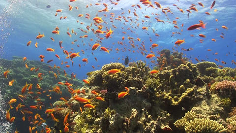 Colorful Fish on Vibrant Coral Reef Footage