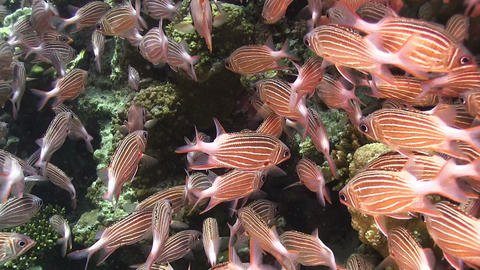 Shoal of Stripped Fish on Coral Reef Footage