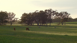 Two Horses And A Flock Of Sheep Grazing At Sunrise stock footage