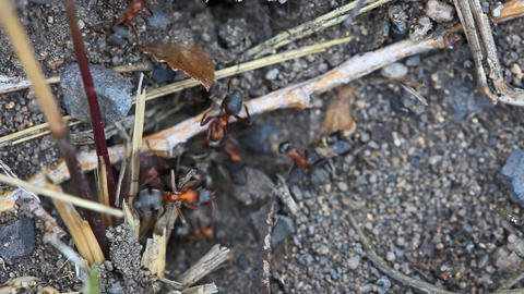 Fight ants with larva Stock Video Footage