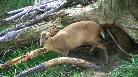 Muntjac Deer Grazing Stock Video Footage