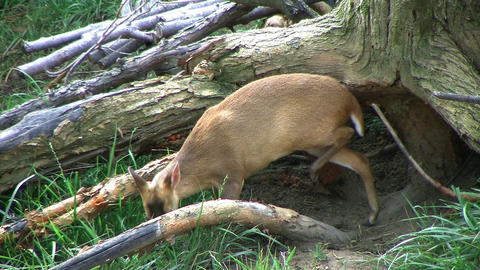 Muntjac Deer Grazing Footage