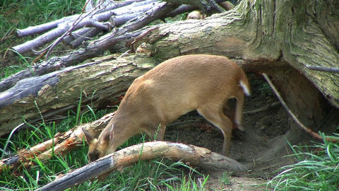 Muntjac Deer Grazing lizenzfreie Videos