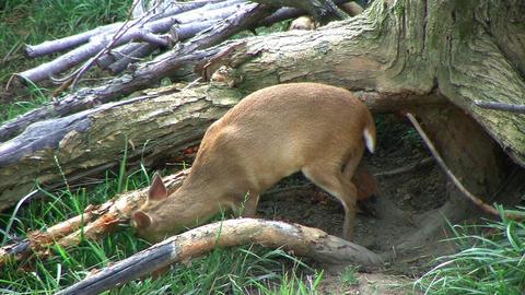 Muntjac Deer Grazing Stock Video Footage
