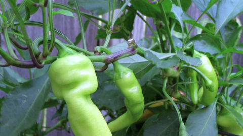 Banana Pepper Stock Video Footage