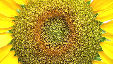 Sunflower Macro Stock Video Footage