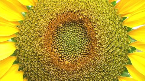 Sunflower Macro Stock Video Footage