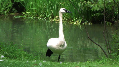 Trumpeter Swan Stock Video Footage