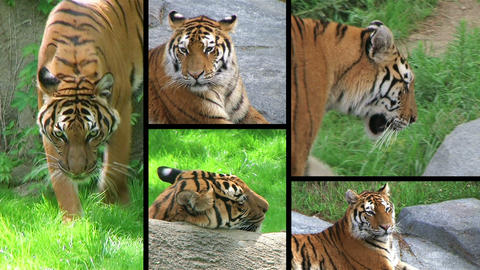Siberian Tiger Composite Stock Video Footage