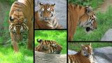 Siberian Tiger Composite stock footage