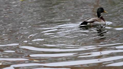 Duck in autumn pond Footage