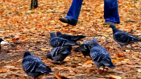 pigeon in autumnal garden Stock Video Footage