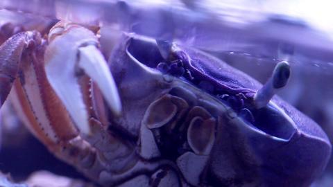 Marine crab Stock Video Footage