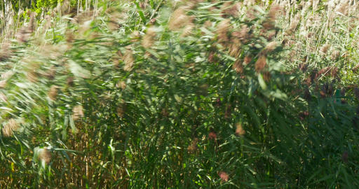 Cane Thicket 4K 02 stock footage