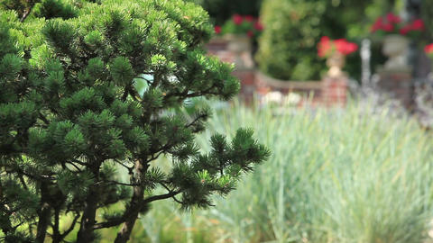 Pine In The Garden stock footage