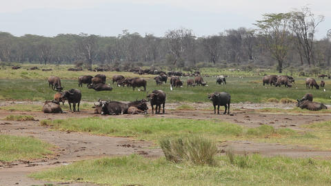 Buffalo Herd At The River Footage