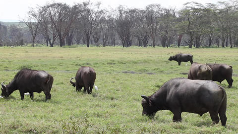Herd of buffalo eating grass in a park Amboseli. K Footage