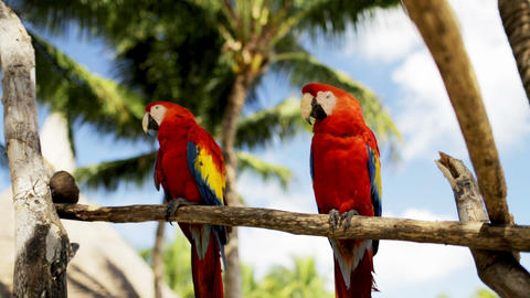 close up of two red parrots sitting on perch Footage