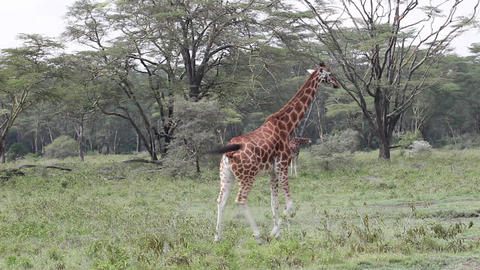 Giraffe Eating Leaves Footage