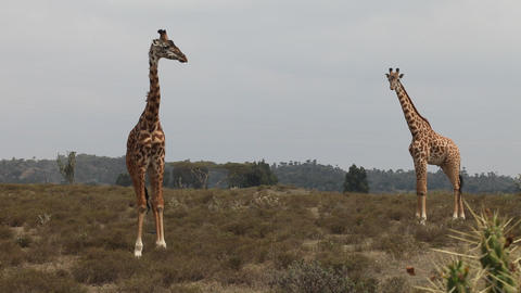 Giraffes At A Game Park In Kenya Africa Live Action