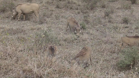 Warthog Family On The Move Gfhd Footage