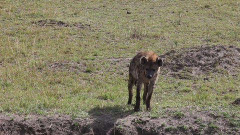 Spotted Hyena Walking Close-Up Footage