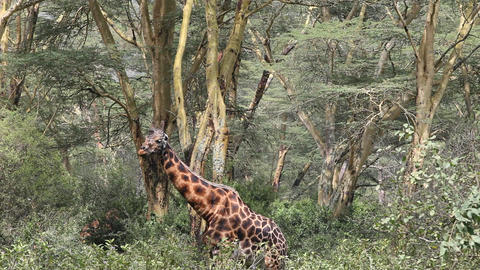 Closeup of a giraffe eating leaves of a tree Footage