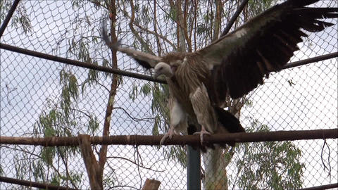A Giant Vulture flapping its wings/Time-lapse/Slow Footage