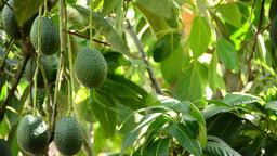 Avocados hanging Footage
