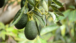 Hass avocados hanging at tree Footage