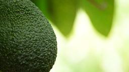 Avocado hanging at tree close up Footage