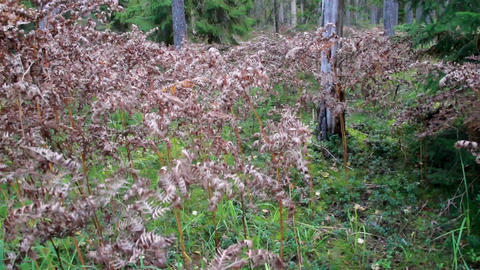 Withered shrubs on the forest Footage