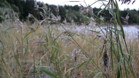 Grass stalks swayed by the wind and the sound of t Footage