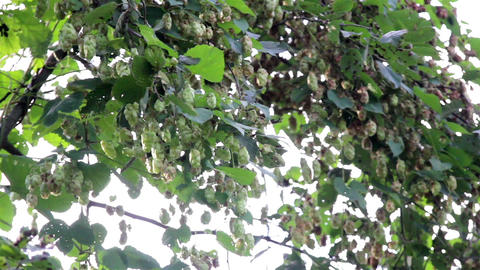 Humulus flower bud hanging and is swaying with the Footage