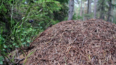 Ants swarming in the bulk on the ground Footage