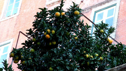 Oranges hanging on the orange tree Footage
