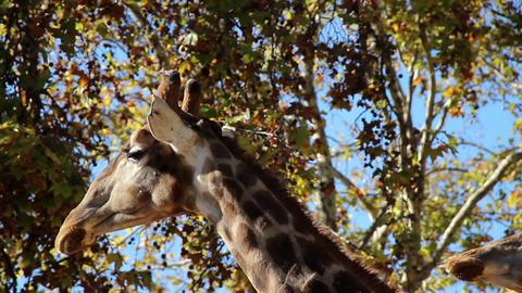 Long neck giraffe head of two giraffes Footage