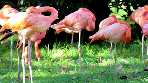 Group of flamingos Footage