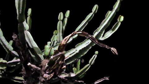 Close-up view of a dying cactus Footage
