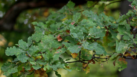 Green oak leaves and some are wilted Footage