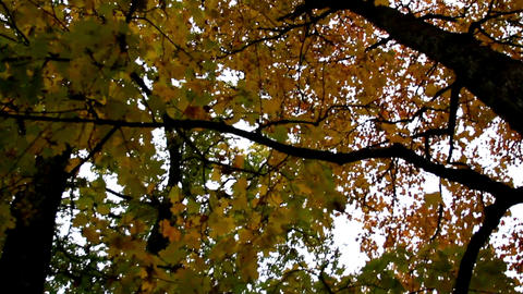 Tall maple trees and its branches autumn park Footage