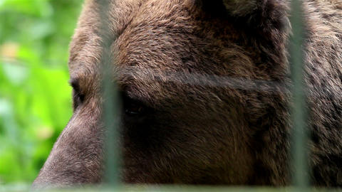 Grizzly brown bear safe in the cage Live Action