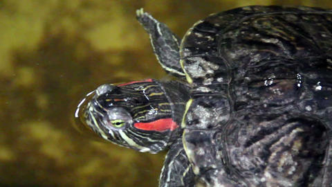 Turtle Slowly Swimming stock footage