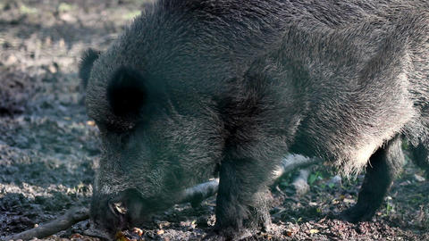 Wild boar chewing Live Action